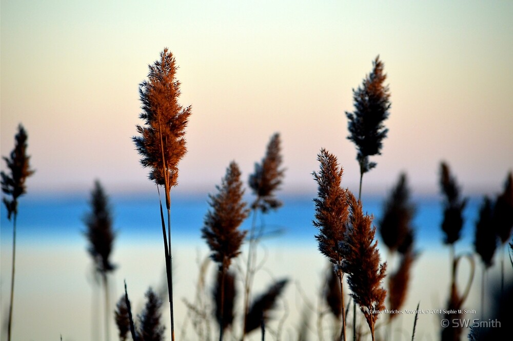Cortaderia Jubata - Andean Pampas Grass | Center Moriches, New York  by © Sophie W. Smith