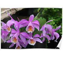 Pleione orchids Poster