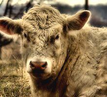 Bull by K2D2vaca