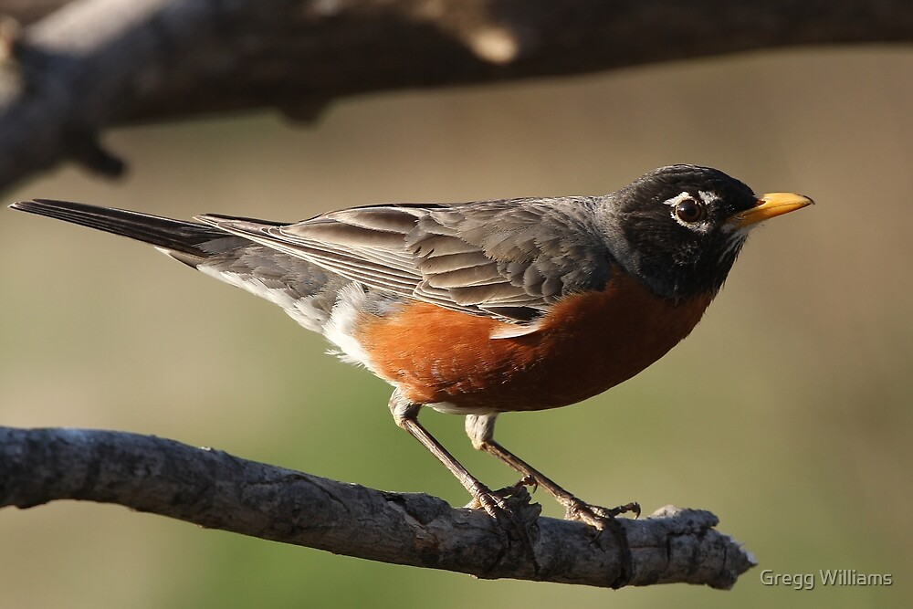 American Robin by Gregg Williams