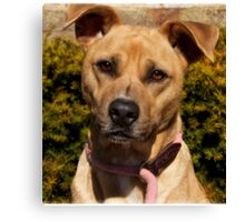 Handsome Pit Bull  Mix Canvas Print