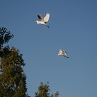 Egrets flying by cindylu