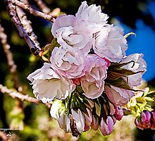 Spring Blossoms by Maggiebee