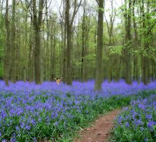 Mythical photograph of Bluebells with a fairy amongst the flowers by NKSharp