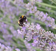 Bee on Lavender by SunburntTiger