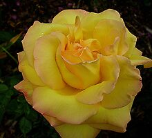 Beautiful Peace Rose - Oct. 2010 by EdsMum