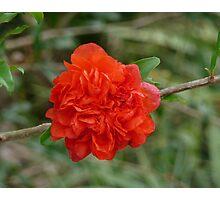 Dwarf Pomegranate Photographic Print