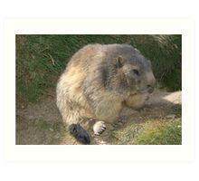 Marmot near saas fee Art Print