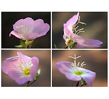 Dancing with the wind... Pink Evening Primrose (Oenothera speciosa) Free State, South Africa Photographic Print