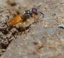 Bee  Wolf... Orania, Northern Cape, South Africa by Qnita
