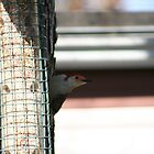 red bellied woodpecker by turkeylegs