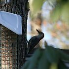 Red bellied wood pecker by turkeylegs