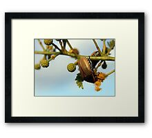 Beetle... (I'm still searching for it's name) Framed Print