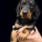 One fine day I'll be a big dachshund girl ! by Bine