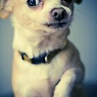 Chihuahua Acting Macho by Mark Stahl
