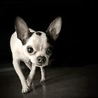 Chihuahua Black & White by Mark Stahl