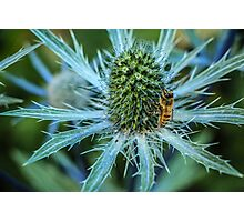 Bee on Sea Holly Photographic Print