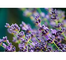 Lavendar Detail Photographic Print