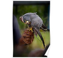 Peregrine Falcon 3 Poster
