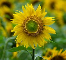 Sunflower by tamilian