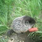 baby groundhog by oilersfan11