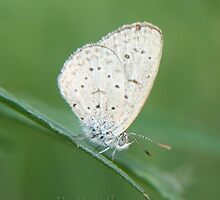 iPhone Butterfly... (Zizula hylax {Female}) Gaika Blue or Tiny Grass Blue by Qnita