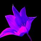 Vibrant Purple and Pink Lily by ljm000