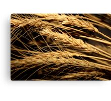 Wheat... Free State, South Africa Canvas Print