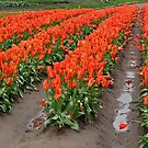 """""""Rows of Red Tulips"""" by Lynn Bawden"""