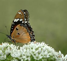 """Miss butterfly... """"Danaus chrysippus (African monarch)"""" Free State, South Africa by Qnita"""