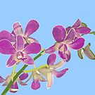 Orchid: Phalenopsis equestris by Bob Fox