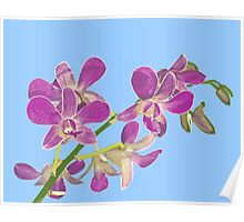 Orchid: Phalenopsis equestris Poster