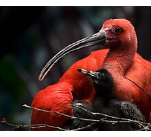 Scarlet Ibis with young Photographic Print