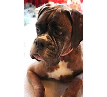 Christmas Day Portrait - Boxer Dog Series Photographic Print