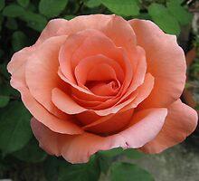 Blessings rose by Lynzi