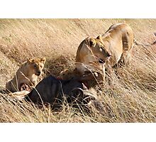 Lioness and Cubs at a Wilderbeest Kill, Maasai Mara, Kenya  Photographic Print