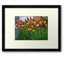 Red Hot Pokers Framed Print