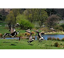 canadian geese in flight margam park red bubble meet port talbot Photographic Print