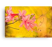 Wild Azalea Blossoms - Rhododendron canescens Canvas Print