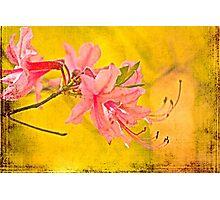 Wild Azalea Blossoms - Rhododendron canescens Photographic Print