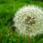 Dandelion Revisited by Manas Karekar