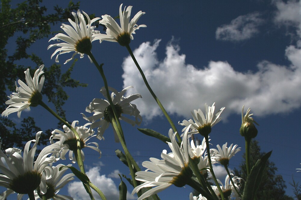 Daisies and Sky by Marilylle  Soveran