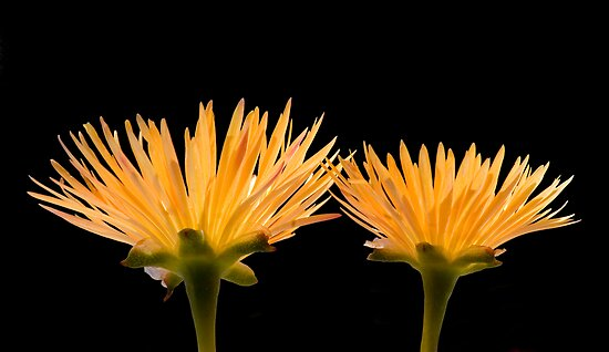 Golden Ice Plant by Daniel J. McCauley IV