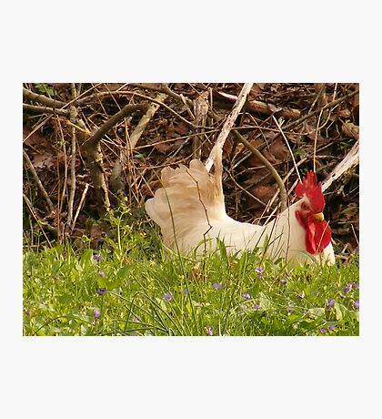white rooster Photographic Print