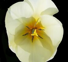 White Tulip Overview by Kathleen Brant