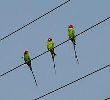 Cute parrots  by Sandyou
