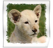 White Lion Cub (Panthera leo senegalensis) Poster