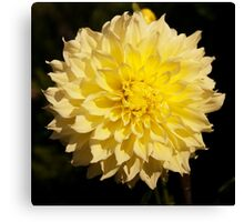 Yellow dahlia flower photography Canvas Print