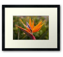 Strelitzia bird of paradise flower photography Framed Print