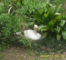 Nesting Swan by Carebare126